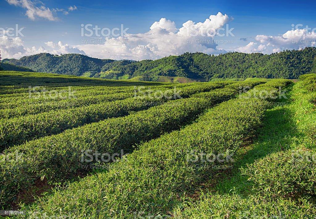 Tea plantation valley at blue cloudy sky stock photo