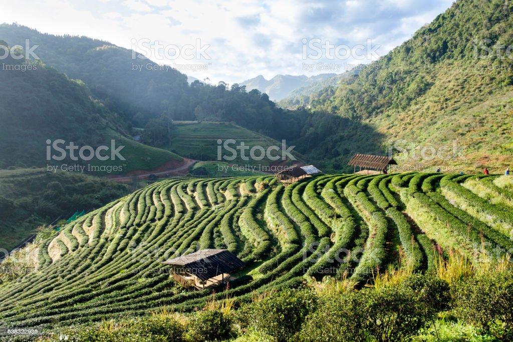 Tea plantation with cottage beautiful stock photo