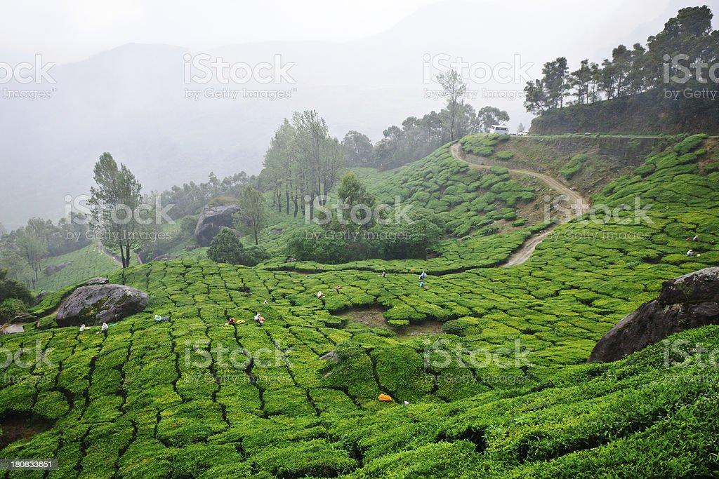 Tea plantation with fresh tender leaves plucked to make greentea stock photo