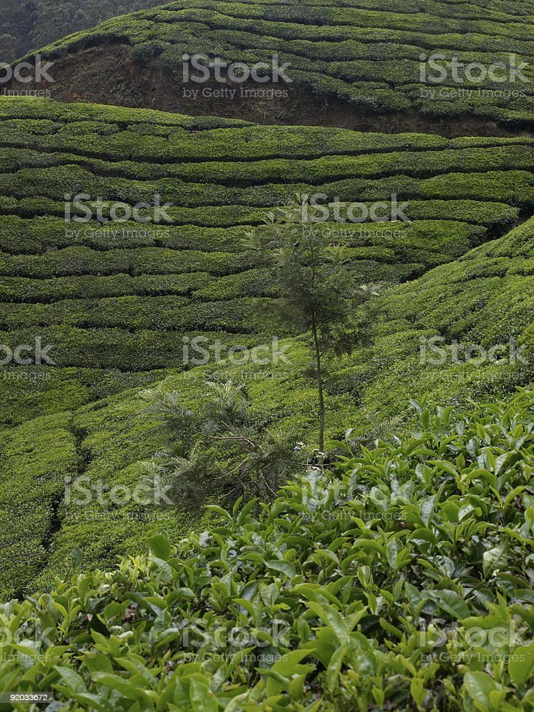 Tea plantation,Munnar,India. royalty-free stock photo