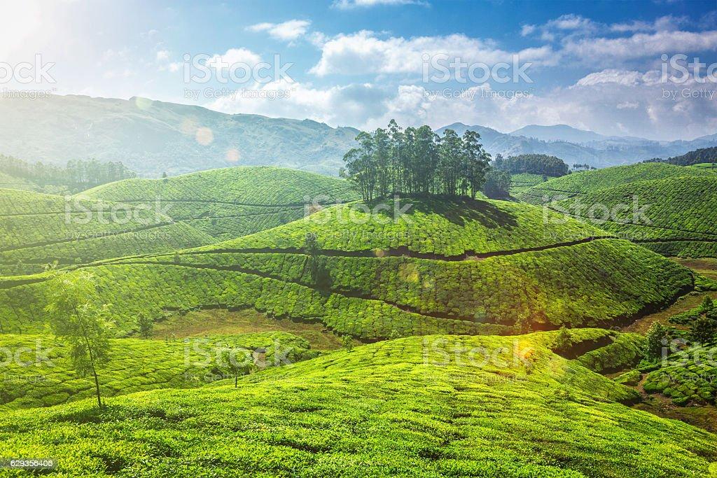 Tea plantations in Kerala, India stock photo