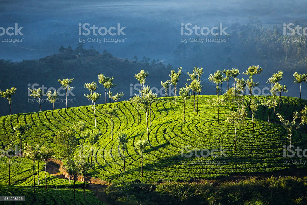 Tea plantations in Munnar, India stock photo