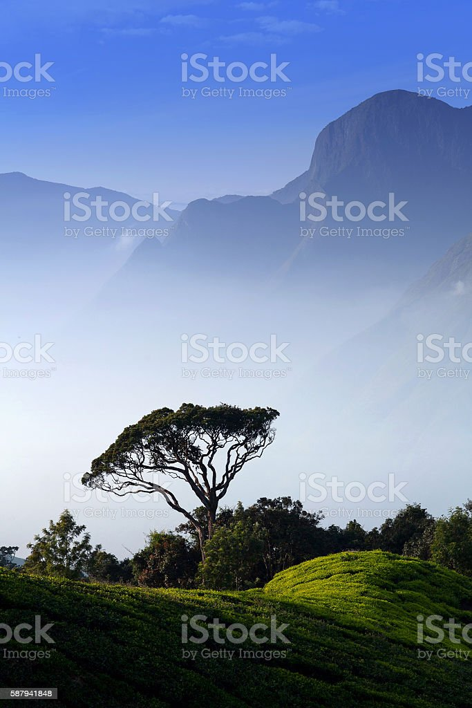 Tea plantations in Munnar, Kerala, South India stock photo