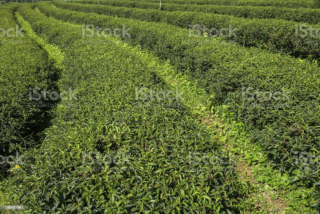 Tea plantations in Thailand. royalty-free stock photo