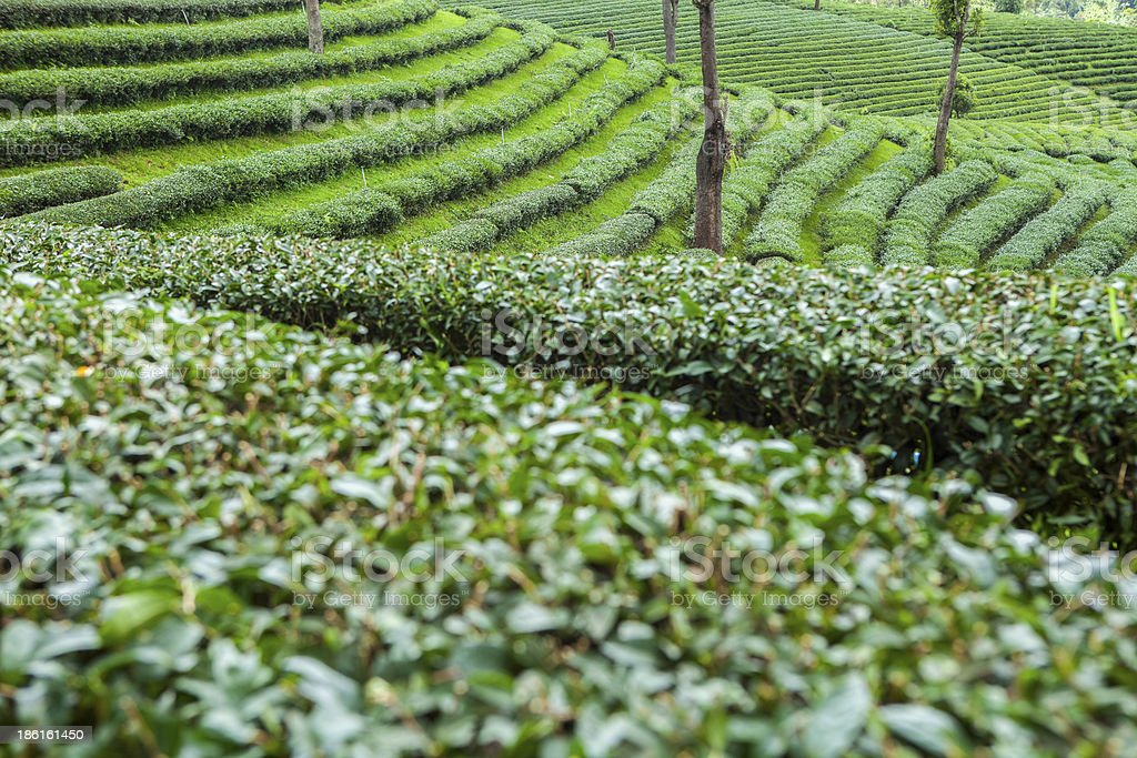 Tea plantations in Thailand. royalty-free stock photo