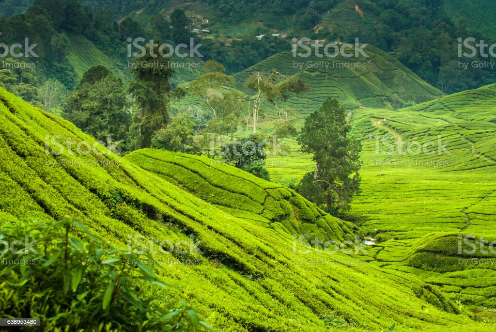 Tea plantations in the cameron highlands stock photo