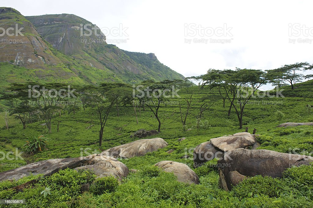 Tea plantations, Mozambique stock photo