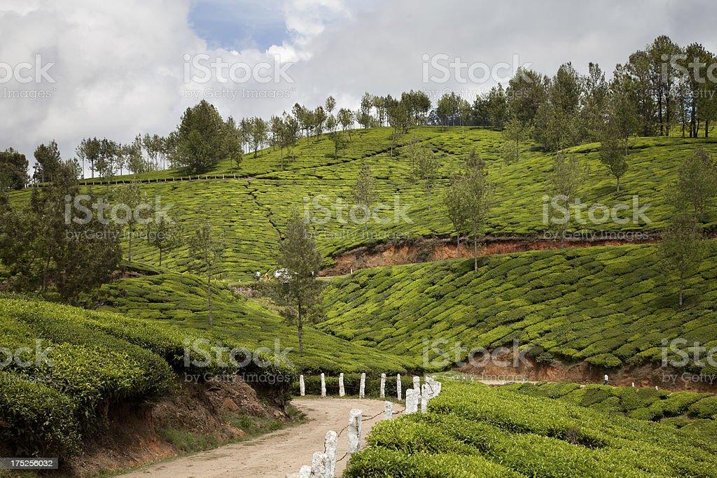 Tea plantations. Munnar, Kerala, India royalty-free stock photo