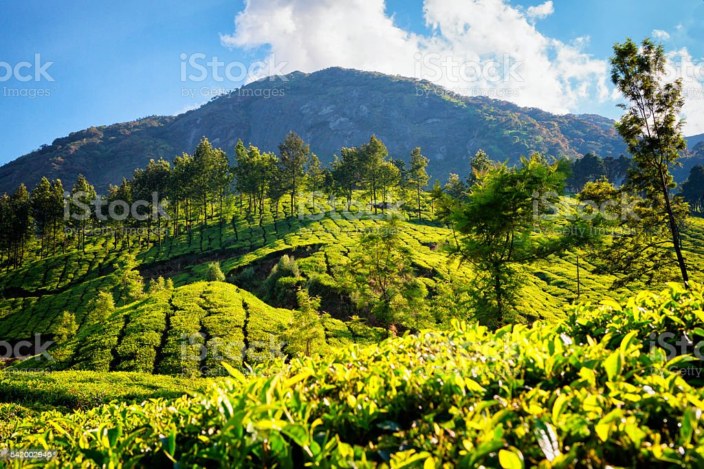 Tea Plantations Nesstled in the Western Ghats - Munnar, India stock photo