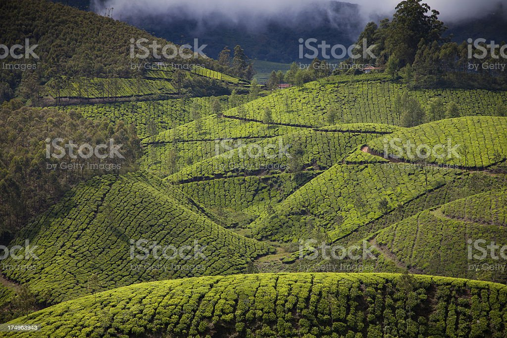 Tea plantations of Munnar royalty-free stock photo