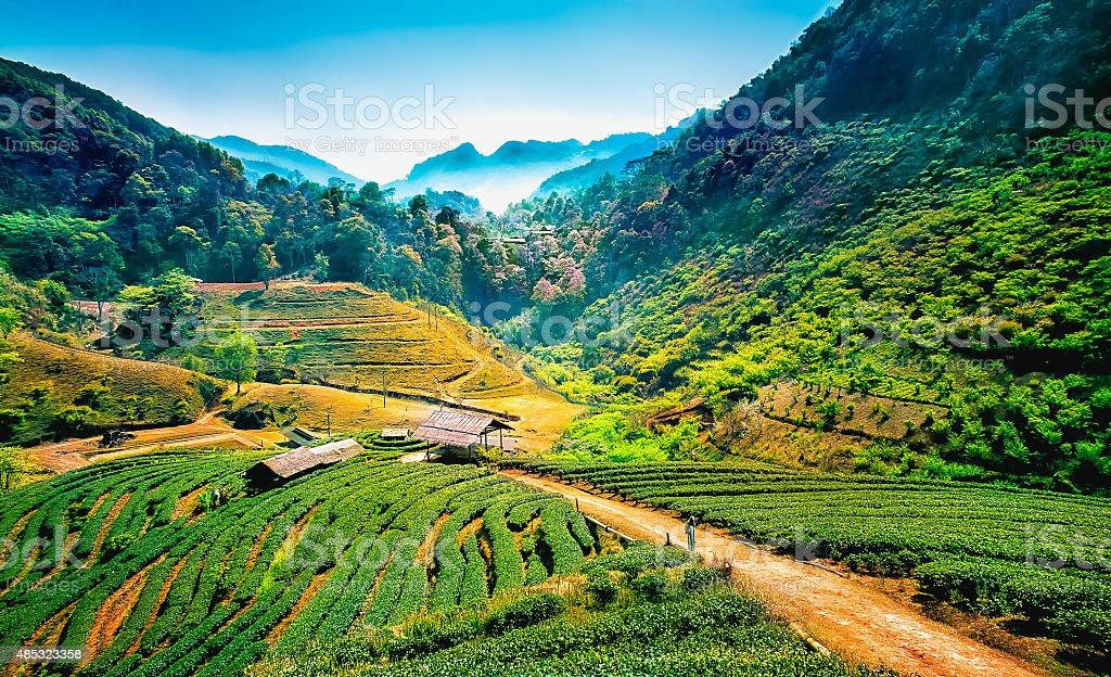Tea plantations on angkhang mountain, chiang mai, thailand stock photo