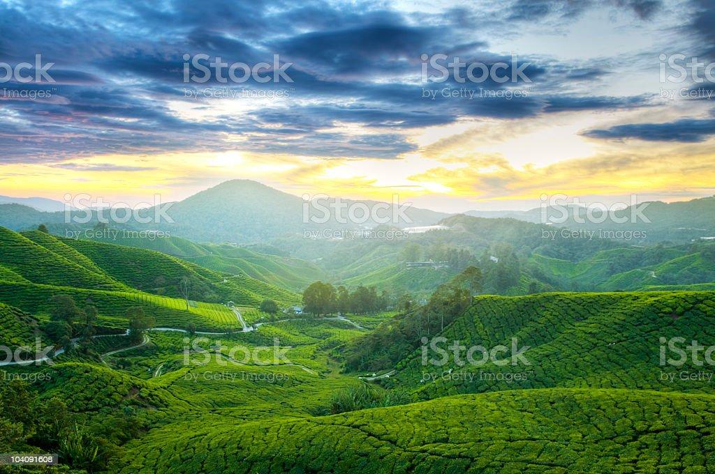 Tea Plantations royalty-free stock photo