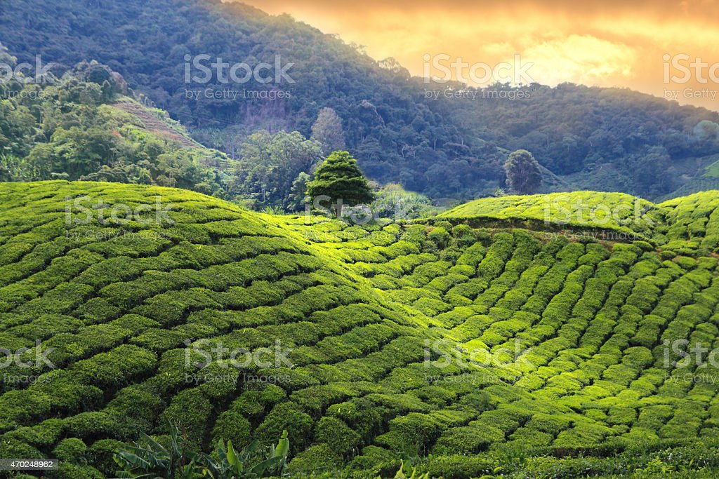 tea plantations sunset stock photo