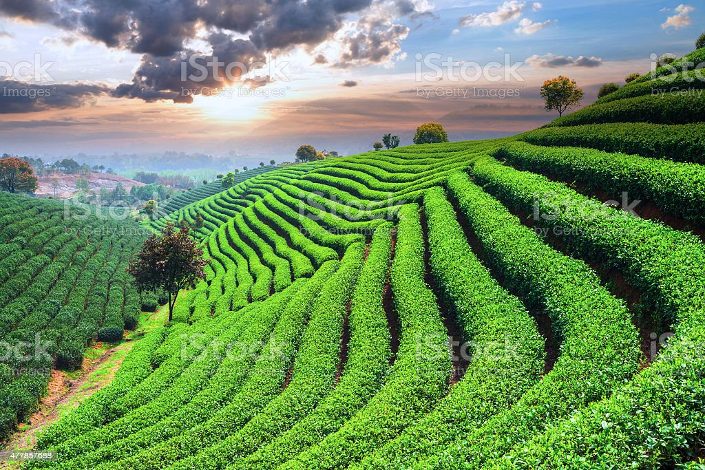 Tea Plantations under sky stock photo