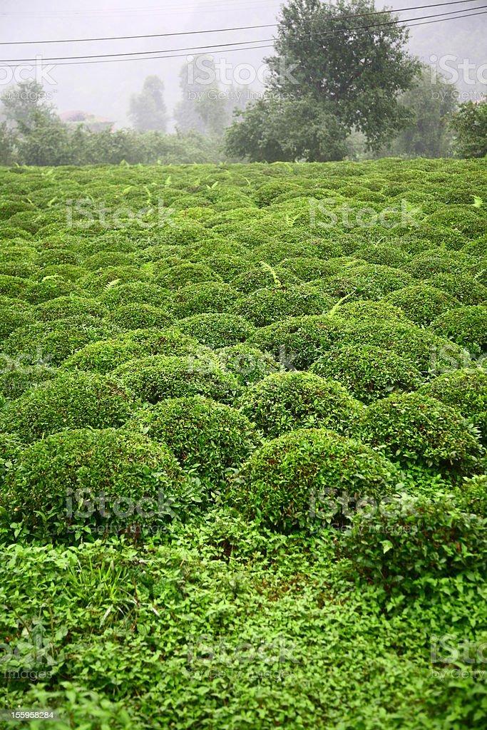 Tea Plants stock photo