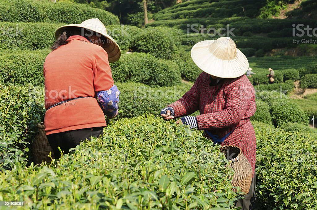 Tea plucking female worker stock photo