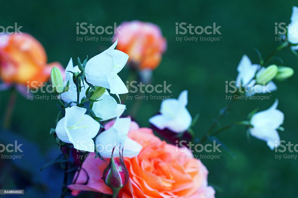 Tea rose and bellflowers stock photo