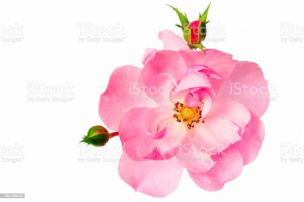 Tea rose. stock photo