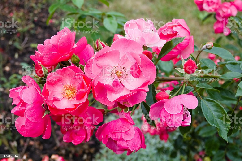 Tea Roses. stock photo
