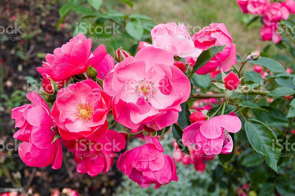 Tea Roses. stock photo