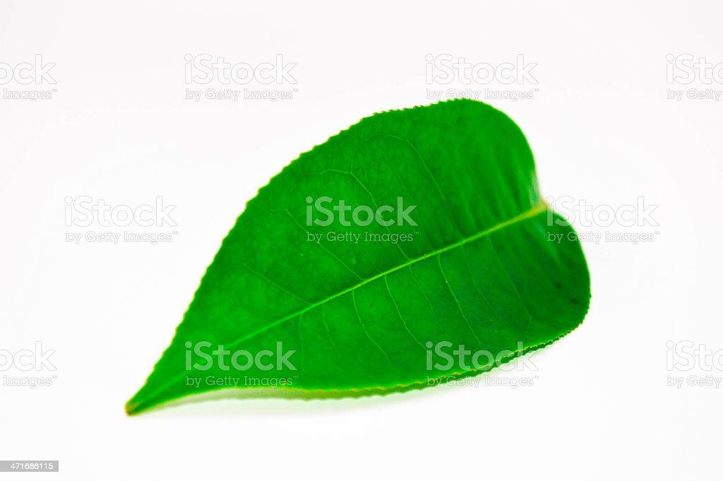 Tea single leaf royalty-free stock photo