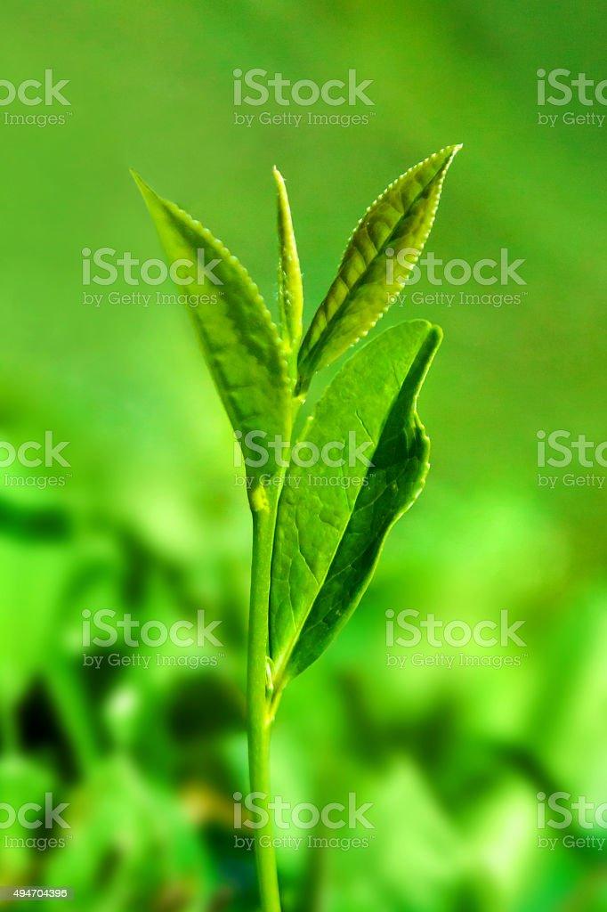 Tea sprouts stock photo