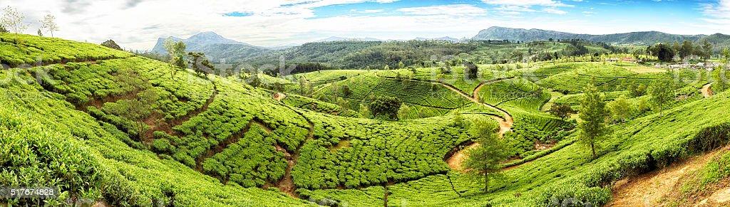 Huge tea plantation in Sri Lanka.