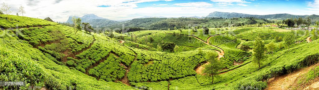 Tea Terraces of Sri Lanka stock photo