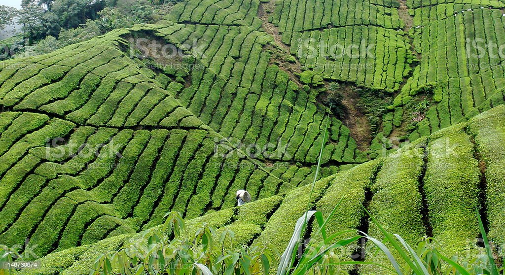 Tea worker royalty-free stock photo
