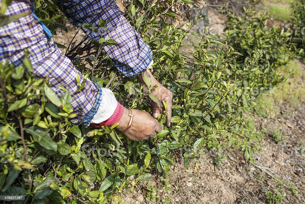tea worker royalty-free stock photo