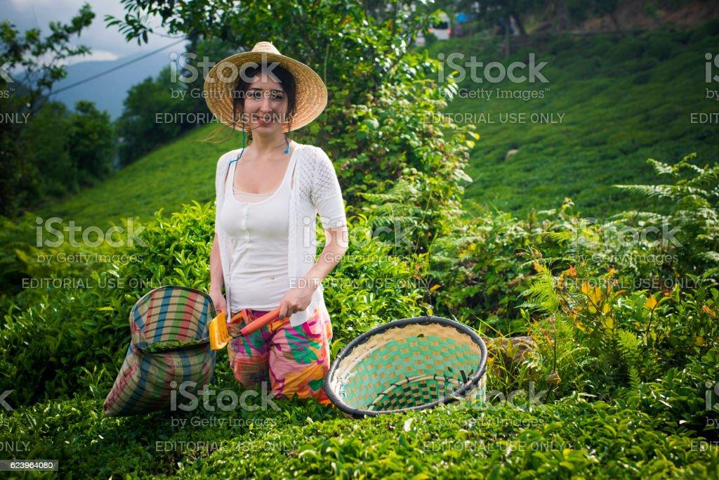 Tea Worker Woman in The Field. stock photo