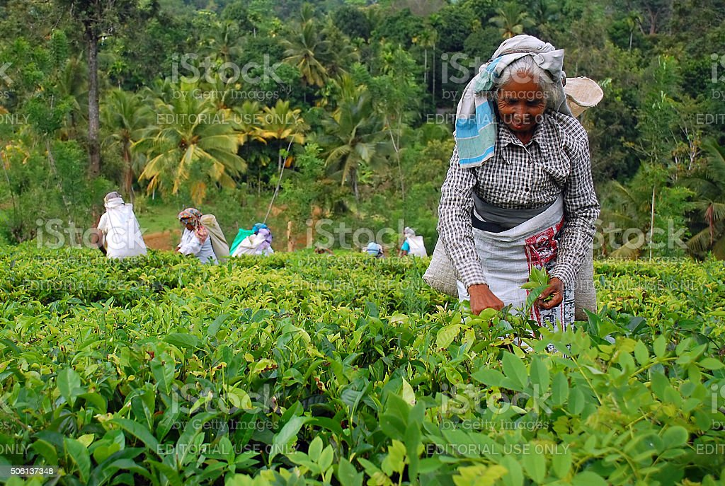 Tea Workers at the Tea Plantation in Sri Lanka stock photo
