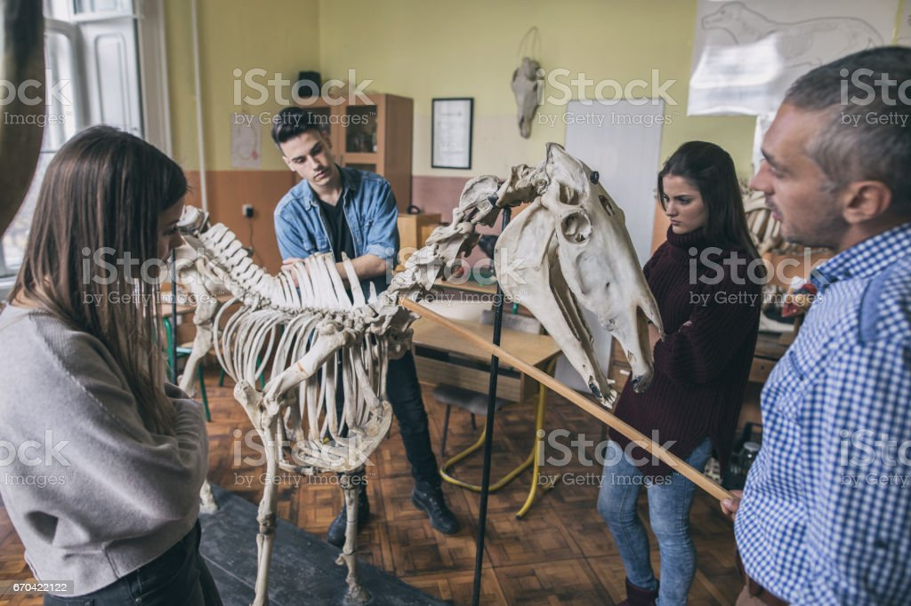 Teacher and group of students analyzing animal skeleton in the classroom. stock photo