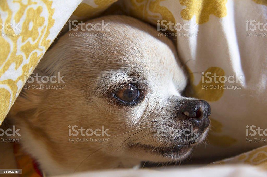 teacup chihuahua stock photo
