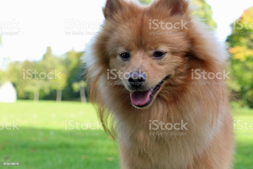 Teacup Pomeranian Close Up stock photo