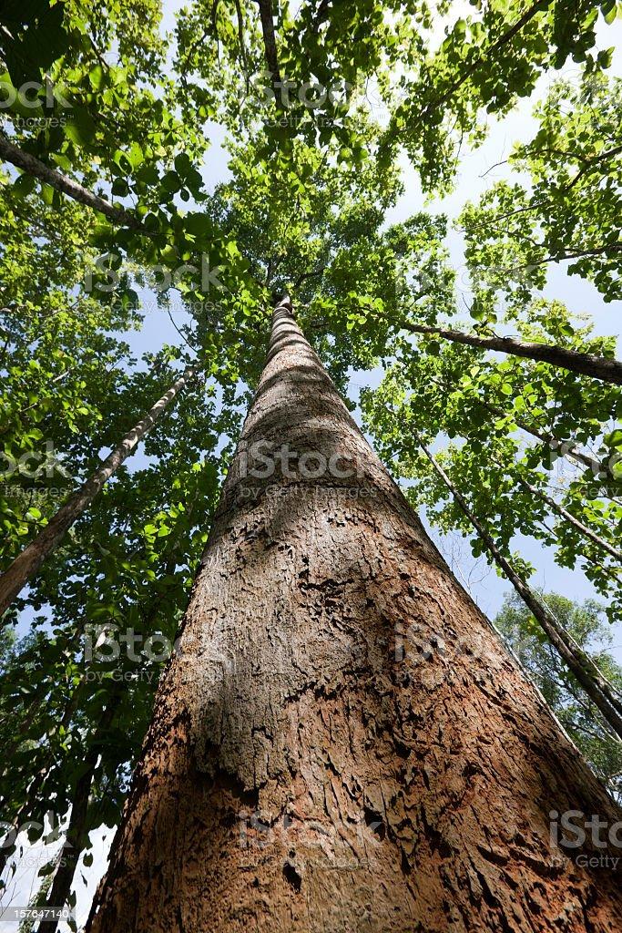 Teak forest canopy. stock photo