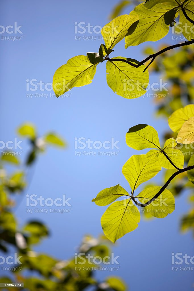 Teak leaf forest background. royalty-free stock photo