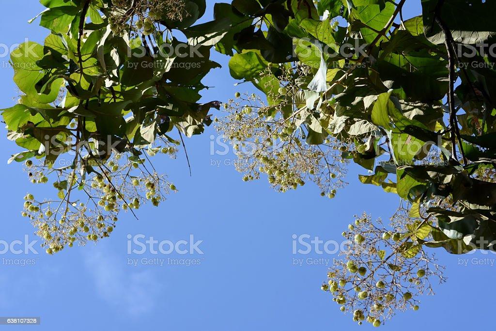 Teak seeds plant on tree stock photo