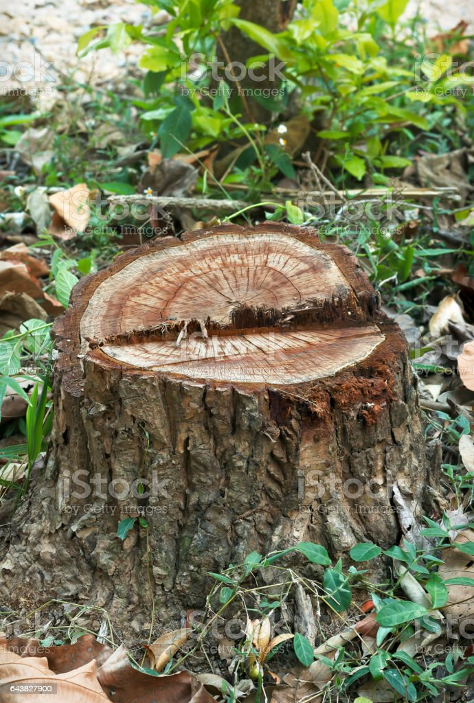 Teak tree stump. stock photo