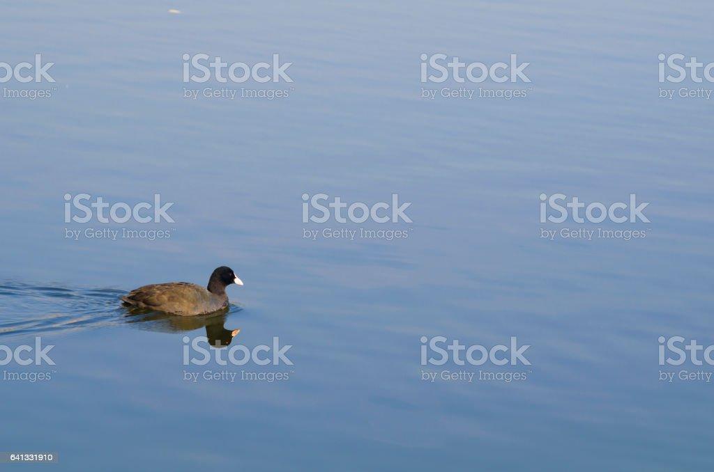 Teal bird swimming stock photo