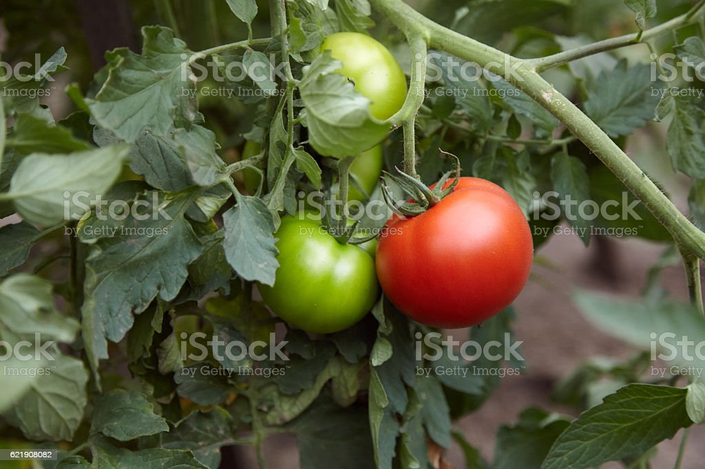 Team Leader - Red and green tomatoes on tomato plant stock photo