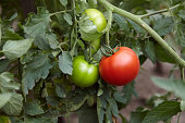 Team Leader - Red and green tomatoes on tomato plant