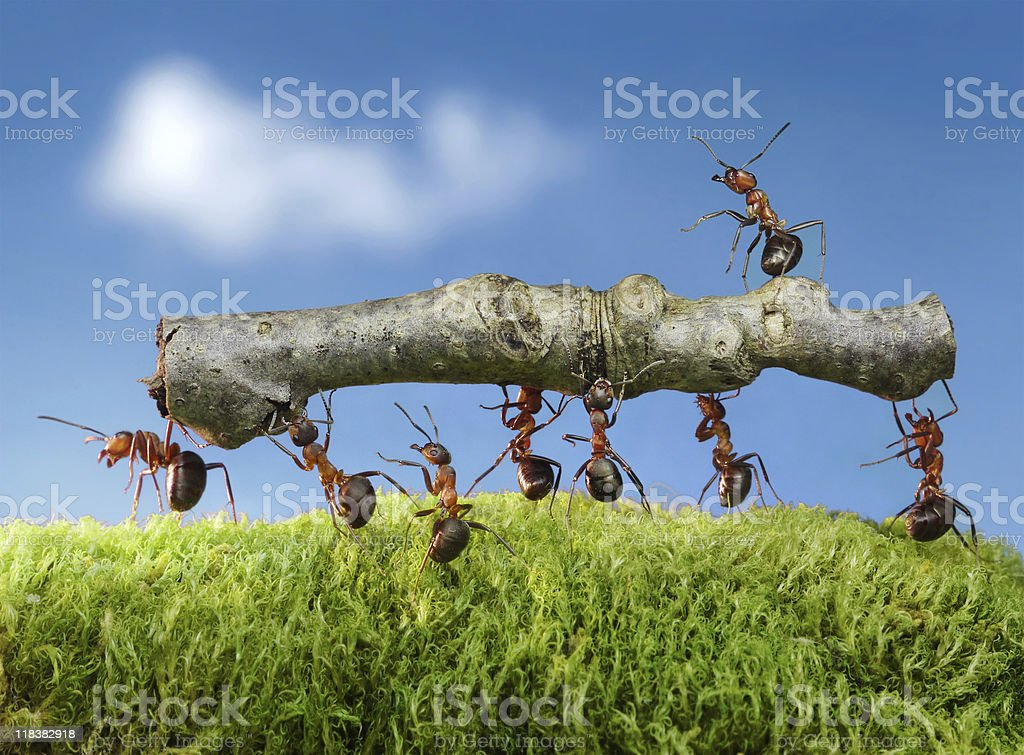 team of ants carry log with chief on it stock photo