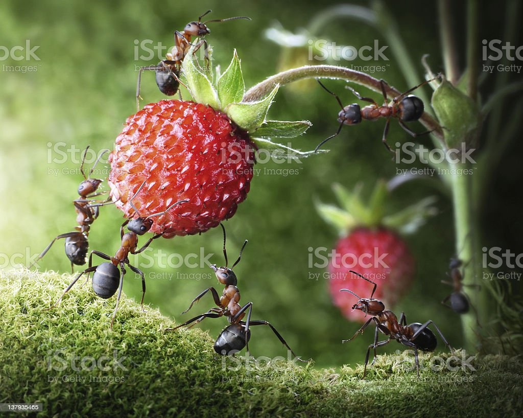 team of ants picking wild strawberry stock photo
