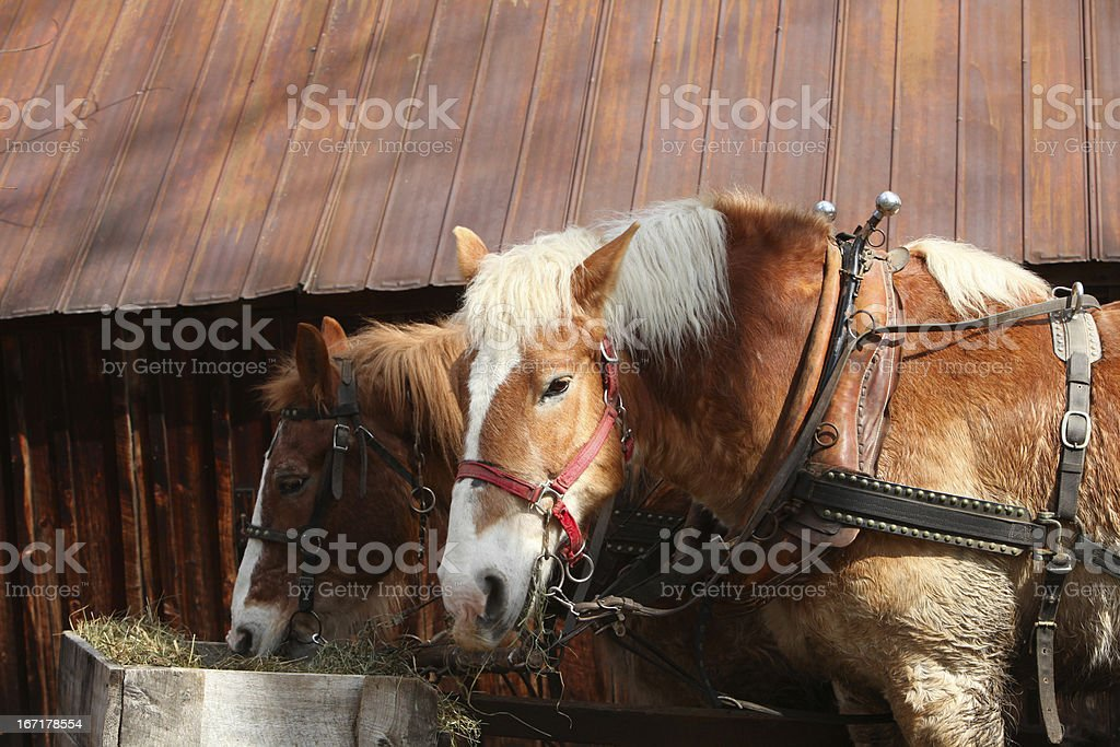 Team of belgian workhorses at lunch. stock photo