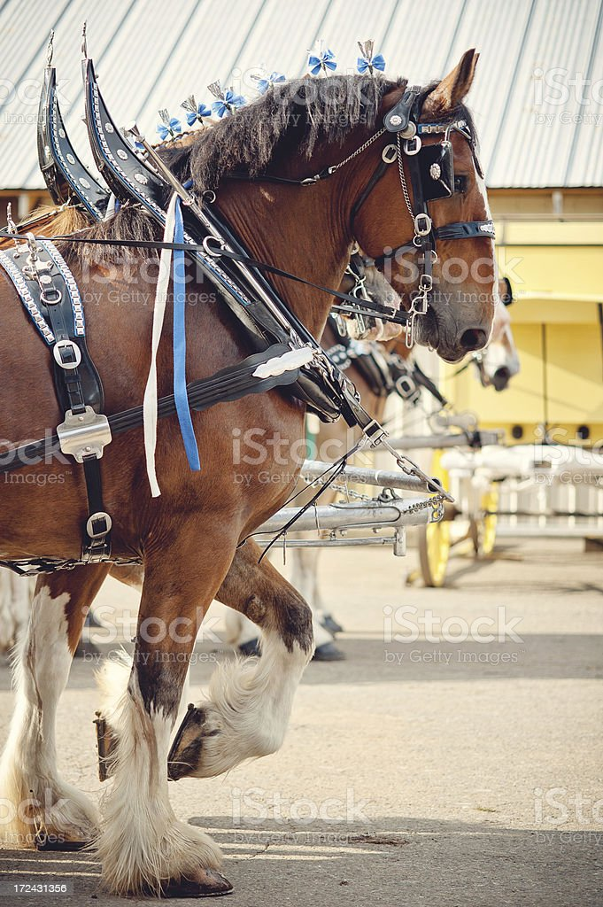 Team of Clydesdale horses at a County Fair stock photo