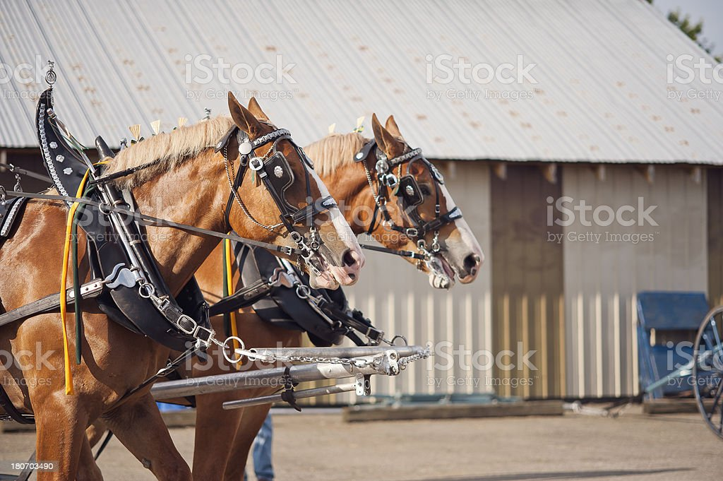 Team of ornate Clydesdale horses at an agricultural show. stock photo