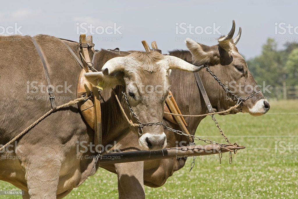 Team Of Oxen royalty-free stock photo