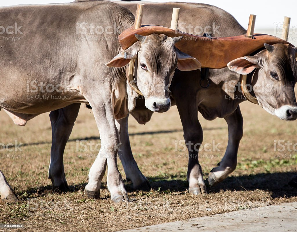 team of oxen stock photo