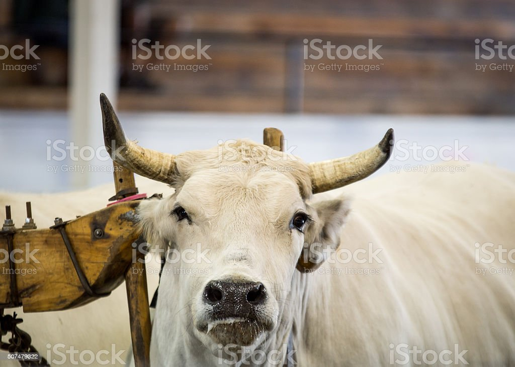 team of oxen pulling stock photo